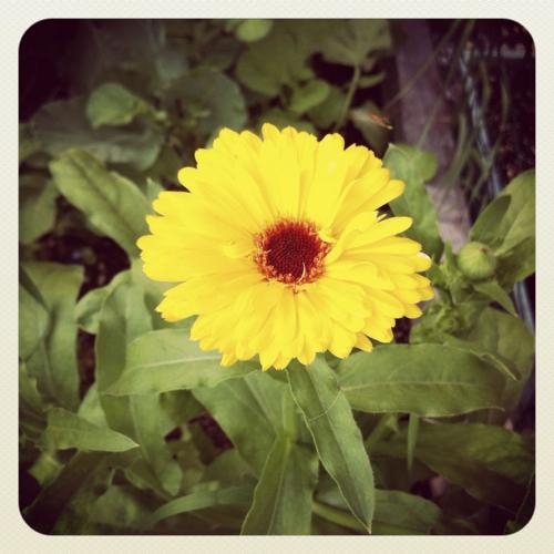 sharon-kitchens-sunflower
