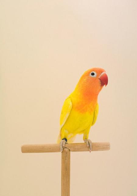 yellow-bird-photo