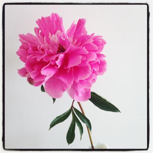 pink-flower-judys-garden