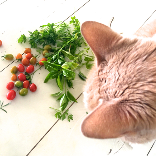 Cat Looking Over Cherry Tomatoes & Herbs